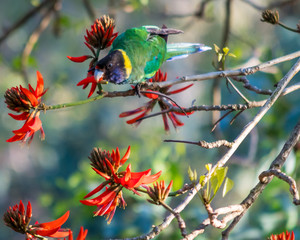 Australian Ringneck Parrot eating flowers on Coral Tree