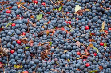 Ripe dark blue delicious berries blueberries, background, texture.