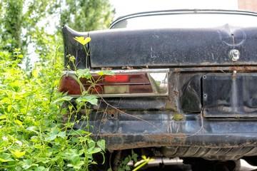 Ausschnitt schwarze Mercedes Oldtimer Limousine  mit Pflanzen bewachsen