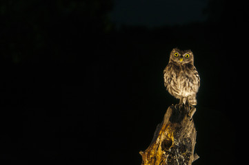 Little owl (Athene noctua), night, perched, looking