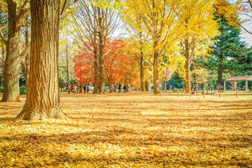 Beautiful Japan autumn leaves in Meiji Jingu Gaien Park of Tokyo , Japan.