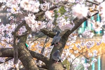 上野不忍池の桜と鳩