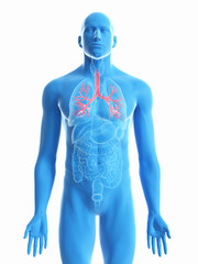 3d rendered medically accurate illustration of a mans bronchi