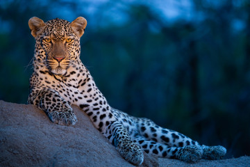 Fototapeten Leopard Leopard in their natural habitat. - captured in the Greater Kruger National Park South Africa