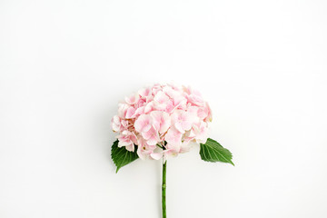 Spoed Fotobehang Hydrangea Pink hydrangea flower isolated on white background. Flat lay, top view.