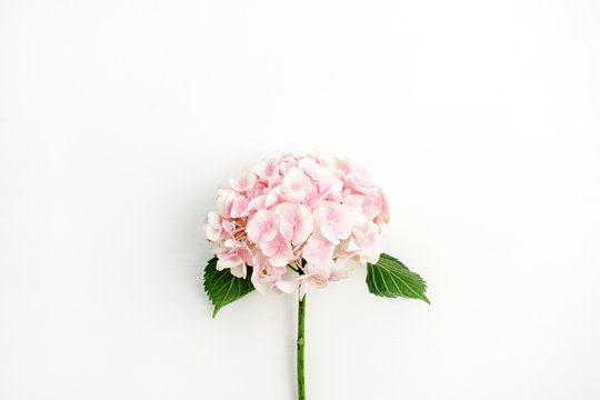 Pink hydrangea flower isolated on white background. Flat lay, top view.