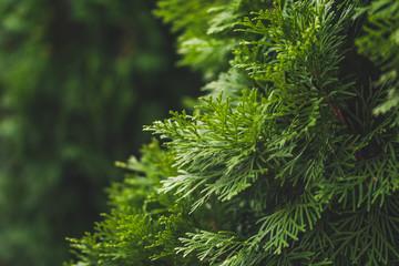 Evergreen juniper. Bright hedge Wall mural