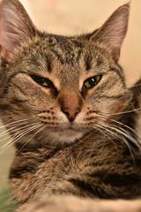 striped european shorthair cat portrait