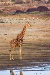 Giraffe in Kruger National park, South Africa . Specie Giraffa camelopardalis family of Giraffidae