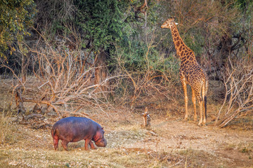 Giraffe and hippoptamus in Kruger National park, South Africa