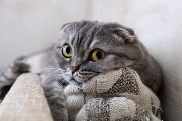 Close-up view of grey Scottish Fold cat on a pillow. Looking at camera