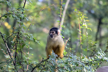 Close Up Of A Black-Capped Squirrel Monkey In A Tree