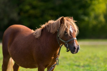 Chestnut pony or horse wearing a halter