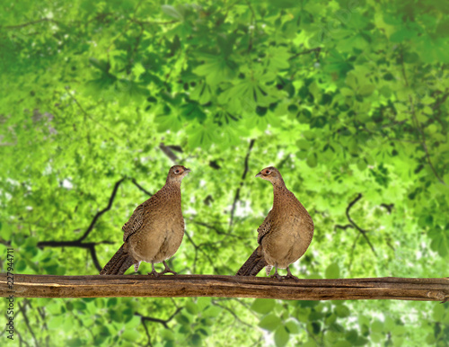 Two female hen common pheasants ( Phasianus colchicus ) on twig in green summer forest in sun light