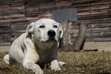 Loyal Male American Bulldog