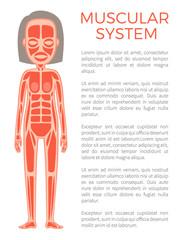 Muscular System of Body Poster Vector Illustration