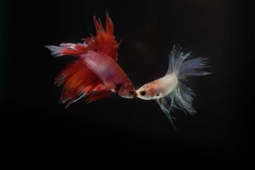 fish fighting on black background, focus mount fish,