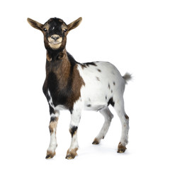 Cute smiling white, brown and black spotted pygmy goat standing side ways with closed mouth, looking straight at camera isolated on white background