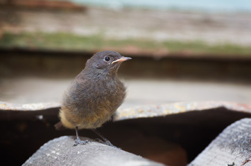 Juvenile Black Redstart At The Old Building