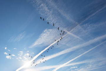 Geese flying in a blue sky in sunlight at fall
