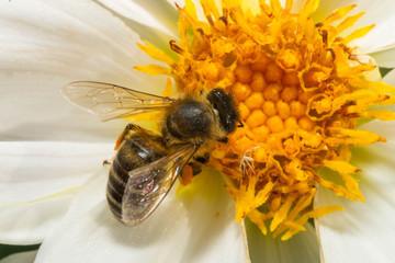 Obraz Pszczoła makro - fototapety do salonu