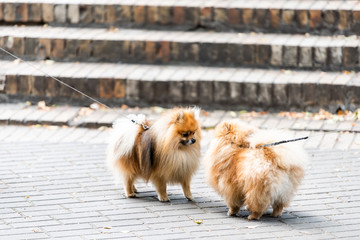 Two funny Pomeranian dog breeds on park on leashes looking at each other mirror copy fluffy small pedigree dogs in Kiev street