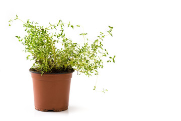 Pot with thyme plant isolated on white background. Copyspace