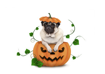 cute pug puppy dog sitting in carved pumpkin with scary face, wearing lid as hat, isolated on white background