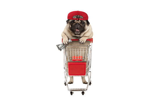 funny happy pug puppy dog with money in is hand, leaning on shopping cart. isolated on white background