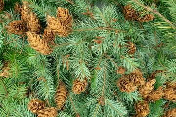 Weihnachtlicher Hintergrund aus Fichtenzweigen und Zapfen