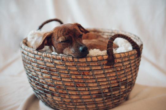 Sleeping puppy in wicker basket