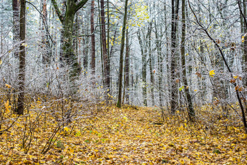 First frost in the forest on a cloudy autumn day, golden leaves, Latvia