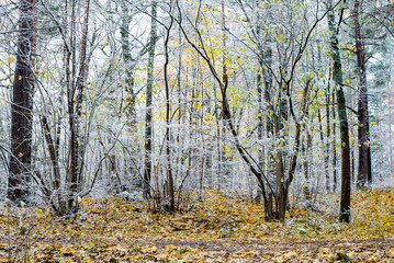 First frost in the forest on a cloudy autumn day, green and golden leaves, Latvia