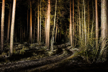 The forest landscape. Pine trees at night, Latvia
