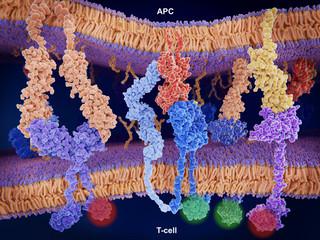 Aktivierung (und Inhibition) der Immunantwort über T-Zellen. B7-1 (orange), CTLA-4 (violett), MHC-II (rot), CD4 (hellblau), T-cell receptor (blau),  CD-28 (dunkelblau), PD-L1 (gelb), PD-1 (violett)
