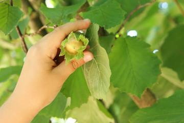 mano de niño mostrando una avellana colgada en el árbol todavía con el involucro a su alrededor