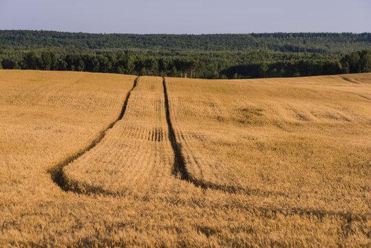 Wheat field in Northern Wisconsin
