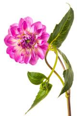 Photo sur Plexiglas Dahlia Beautiful colorful arrangement dahlia flower isolated on a white background