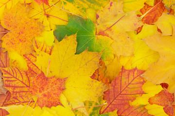 Herbstlicher Hintergrund aus bunten Ahornblättern.