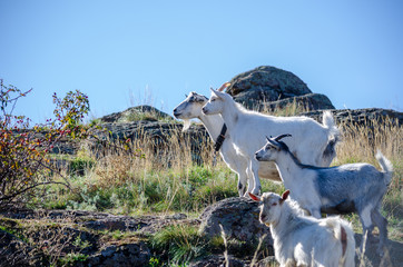 A herd of farm goats grazes in the rocks near the river.