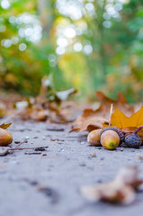 Autumn forest background with yellow leaves and oak acorns closeup.