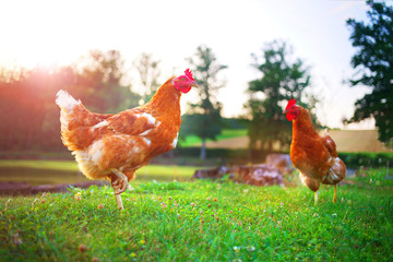 hen, chicken on the farm, livestock bird poultry concept