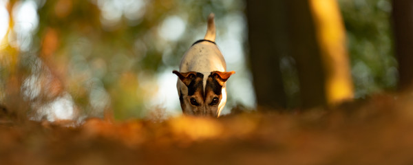 Purebred Jack Russell Terrier. Little cute dog is looking for a track in the idyllic forest in autumn leaves