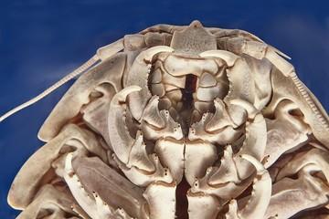 Giant isopod detail