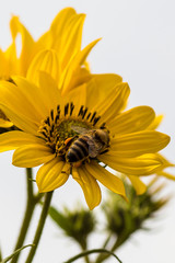 Honey Bee on Jerusalem Artichoke