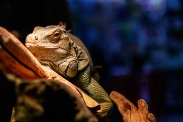 Beautiful large lizard iguana