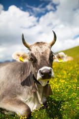 Cow in the italian alps