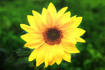 Photo of yellow sunflower on green grass