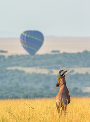 Fototapete - Topi antelope standing in the savanna in the background of a flying balloon. Africa. Kenya. Tanzania. Masai Mara. Serengeti.