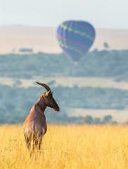 Wall Mural - Topi antelope standing in the savanna in the background of a flying balloon. Africa. Kenya. Tanzania. Masai Mara. Serengeti.